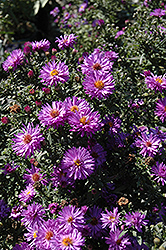Professor Anton Kippenberg Aster (Aster novi-belgii 'Professor Anton Kippenberg') at Dutch Growers Garden Centre