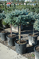 Globe Blue Spruce (tree form) (Picea pungens 'Globosa (tree form)') at Dutch Growers Garden Centre