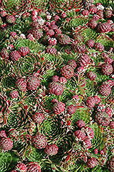 Red Hens And Chicks (Sempervivum 'Red') at Dutch Growers Garden Centre