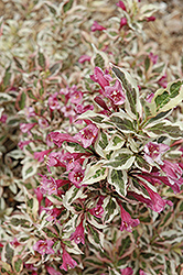 My Monet® Weigela (Weigela florida 'Verweig') at Dutch Growers Garden Centre