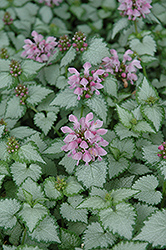 Pink Chablis® Spotted Dead Nettle (Lamium maculatum 'Checkin') at Dutch Growers Garden Centre
