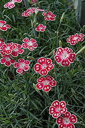 Spotty Pinks (Dianthus 'Spotty') at Dutch Growers Garden Centre