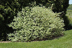 Silver and Gold Dogwood (Cornus sericea 'Silver and Gold') at Dutch Growers Garden Centre