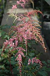 Ostrich Plume Astilbe (Astilbe x arendsii 'Ostrich Plume') at Dutch Growers Garden Centre