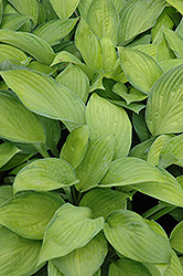 Gold Standard Hosta (Hosta 'Gold Standard') at Dutch Growers Garden Centre