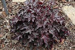 Dolce® Black Currant Coral Bells (Heuchera 'Black Currant') at Dutch Growers Garden Centre