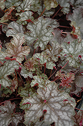 Can Can Coral Bells (Heuchera 'Can Can') at Dutch Growers Garden Centre