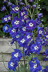 Blue Bird Larkspur (Delphinium 'Blue Bird') at Dutch Growers Garden Centre