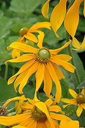 Irish Eyes Coneflower (Rudbeckia hirta 'Irish Eyes') at Dutch Growers Garden Centre