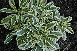 Variegated Alpine Rock Cress (Arabis ferdinandi-coburgi 'Variegata') at Dutch Growers Garden Centre