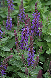Sensation Deep Blue Sage (Salvia nemorosa 'Sensation Deep Blue') at Dutch Growers Garden Centre