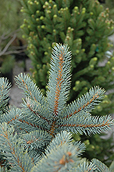 Bakeri Blue Spruce (Picea pungens 'Bakeri') at Dutch Growers Garden Centre