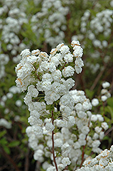 Bridalwreath Spirea (Spiraea prunifolia) at Dutch Growers Garden Centre