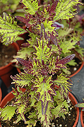 Stained Glassworks Witch Doctor Coleus (Solenostemon scutellarioides 'Witch Doctor') at Dutch Growers Garden Centre