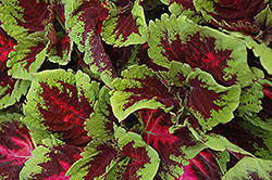 Kong Red Coleus (Solenostemon scutellarioides 'Kong Red') at Dutch Growers Garden Centre