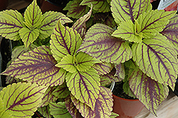 Gays Delight Coleus (Solenostemon scutellarioides 'Gays Delight') at Dutch Growers Garden Centre