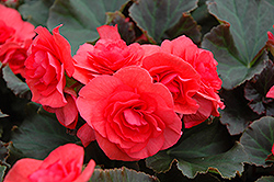 Solenia® Dark Pink Begonia (Begonia 'Solenia Dark Pink') at Dutch Growers Garden Centre