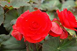 Solenia® Red Begonia (Begonia 'Solenia Red') at Dutch Growers Garden Centre
