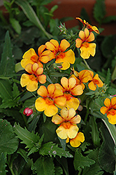 Juicy Fruits Kumquat Nemesia (Nemesia 'Juicy Fruits Kumquat') at Dutch Growers Garden Centre