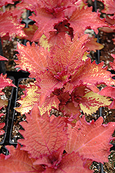 Henna Coleus (Solenostemon scutellarioides 'Henna') at Dutch Growers Garden Centre