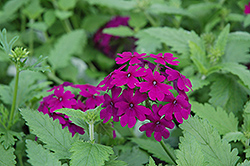 Superbena® Purple Verbena (Verbena 'Superbena Purple') at Dutch Growers Garden Centre