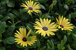Lemon Symphony African Daisy (Osteospermum 'Lemon Symphony') at Dutch Growers Garden Centre