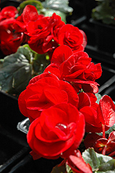 Solenia® Velvet Red Begonia (Begonia 'Solenia Velvet Red') at Dutch Growers Garden Centre
