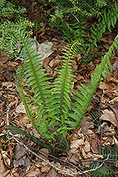 Deer Fern (Blechnum spicant) at Dutch Growers Garden Centre