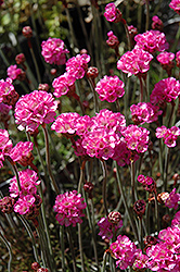 Red-leaved Sea Thrift (Armeria maritima 'Rubrifolia') at Dutch Growers Garden Centre