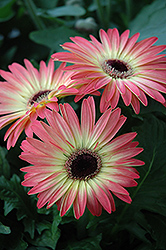 Pink and Yellow Gerbera Daisy (Gerbera 'Pink and Yellow') at Dutch Growers Garden Centre