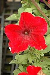 Madness Red Petunia (Petunia 'Madness Red') at Dutch Growers Garden Centre