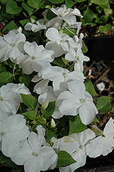 Super Elfin® White Impatiens (Impatiens walleriana 'Super Elfin White') at Dutch Growers Garden Centre