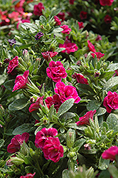 Superbells® Double Rose Calibrachoa (Calibrachoa 'Superbells Double Rose') at Dutch Growers Garden Centre