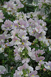 Opal Innocence Nemesia (Nemesia 'Opal Innocence') at Dutch Growers Garden Centre