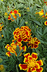 Durango Bee Marigold (Tagetes patula 'Durango Bee') at Dutch Growers Garden Centre