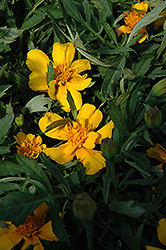 Durango Gold Marigold (Tagetes patula 'Durango Gold') at Dutch Growers Garden Centre