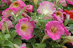 Surprise Pink Lemonade Petunia (Petunia 'Surprise Pink Lemonade') at Dutch Growers Garden Centre