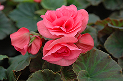 Solenia® Light Pink Begonia (Begonia 'Solenia Light Pink') at Dutch Growers Garden Centre