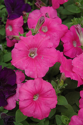 Madness Pink Petunia (Petunia 'Madness Pink') at Dutch Growers Garden Centre