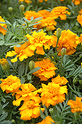 Little Hero Gold Marigold (Tagetes patula 'Little Hero Gold') at Dutch Growers Garden Centre