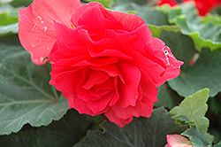 Nonstop® Bright Red Begonia (Begonia 'Nonstop Bright Red') at Dutch Growers Garden Centre
