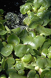 Water Hyacinth (Eichhornia crassipes) at Dutch Growers Garden Centre