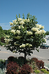 Snowdance™ Japanese Tree Lilac (Syringa reticulata 'Bailnce') at Dutch Growers Garden Centre