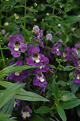 Archangel™ Purple Angelonia (Angelonia angustifolia 'Archangel Purple') at Dutch Growers Garden Centre
