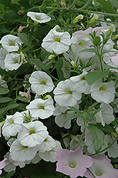 Superbells® White Calibrachoa (Calibrachoa 'Superbells White') at Dutch Growers Garden Centre