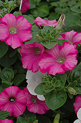 Supertunia® Raspberry Blast Petunia (Petunia 'Supertunia Raspberry Blast') at Dutch Growers Garden Centre