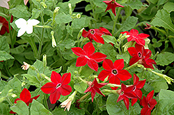 Saratoga Mix Flowering Tobacco (Nicotiana 'Saratoga Mix') at Dutch Growers Garden Centre