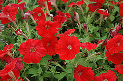 Picobella Red Petunia (Petunia 'Picobella Red') at Dutch Growers Garden Centre