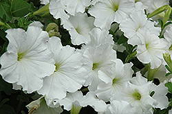 Madness White Petunia (Petunia 'Madness White') at Dutch Growers Garden Centre