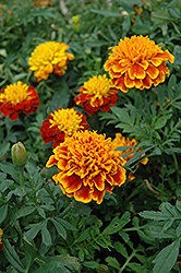 Janie Flame Marigold (Tagetes patula 'Janie Flame') at Dutch Growers Garden Centre